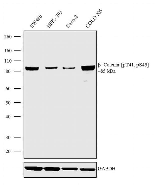 Phospho-beta Catenin (Thr41, Ser45) Antibody in Western Blot (WB)