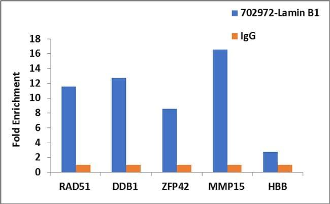 Lamin B1 Antibody in Relative expression