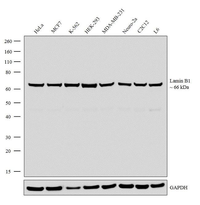 Lamin B1 Antibody in Western Blot (WB)