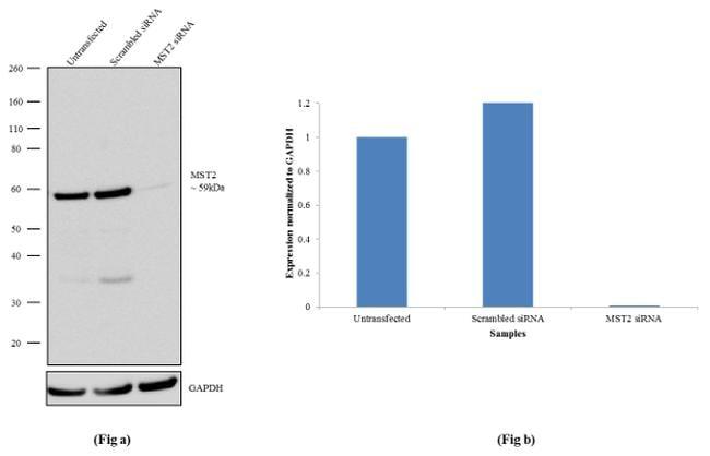 MST2 Antibody in Knockdown