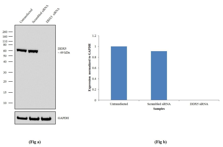 DDX5 Antibody in Western Blot (WB)