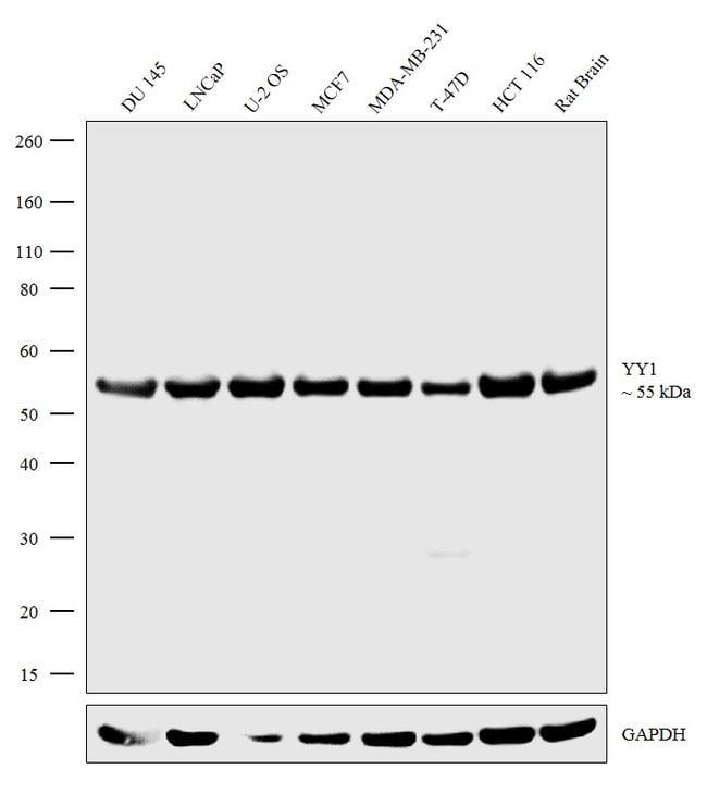 YY1 Antibody in Western Blot (WB)