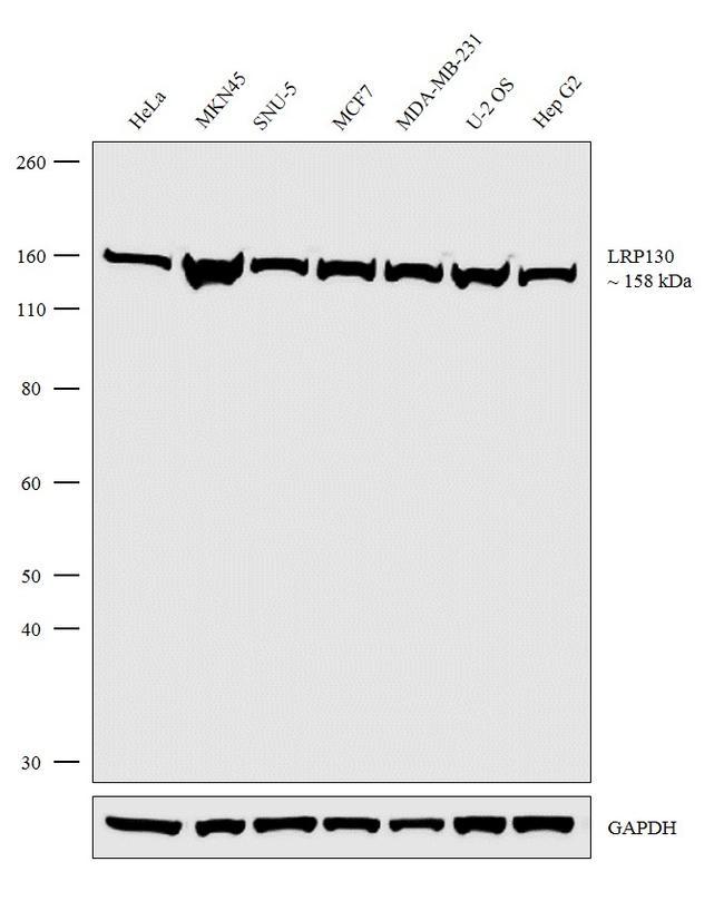 LRP130 Antibody in Western Blot (WB)