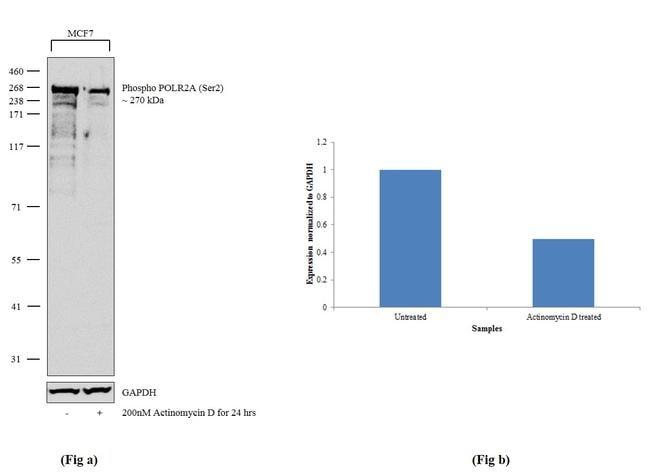 Phospho-POLR2A (Ser2) Antibody in Western Blot (WB)