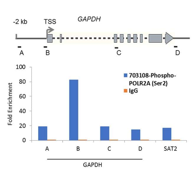 Phospho-POLR2A (Ser2) Antibody in Relative expression