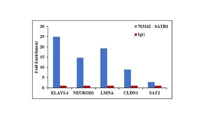SATB1 Antibody in ChIP assay (ChIP)