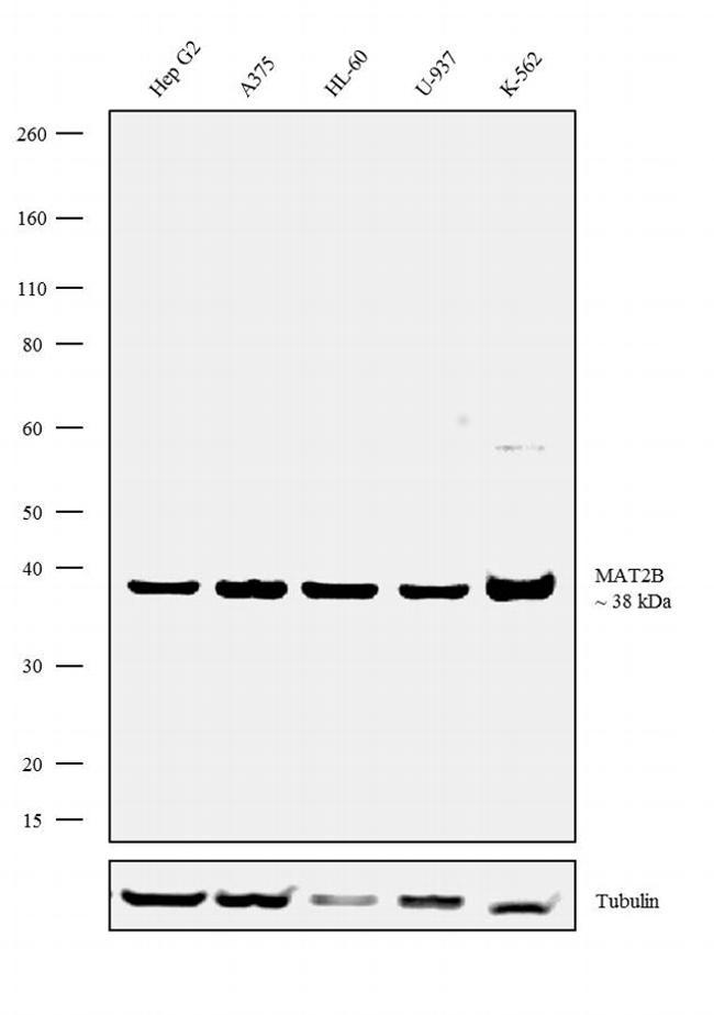 MAT2B Antibody in Western Blot (WB)