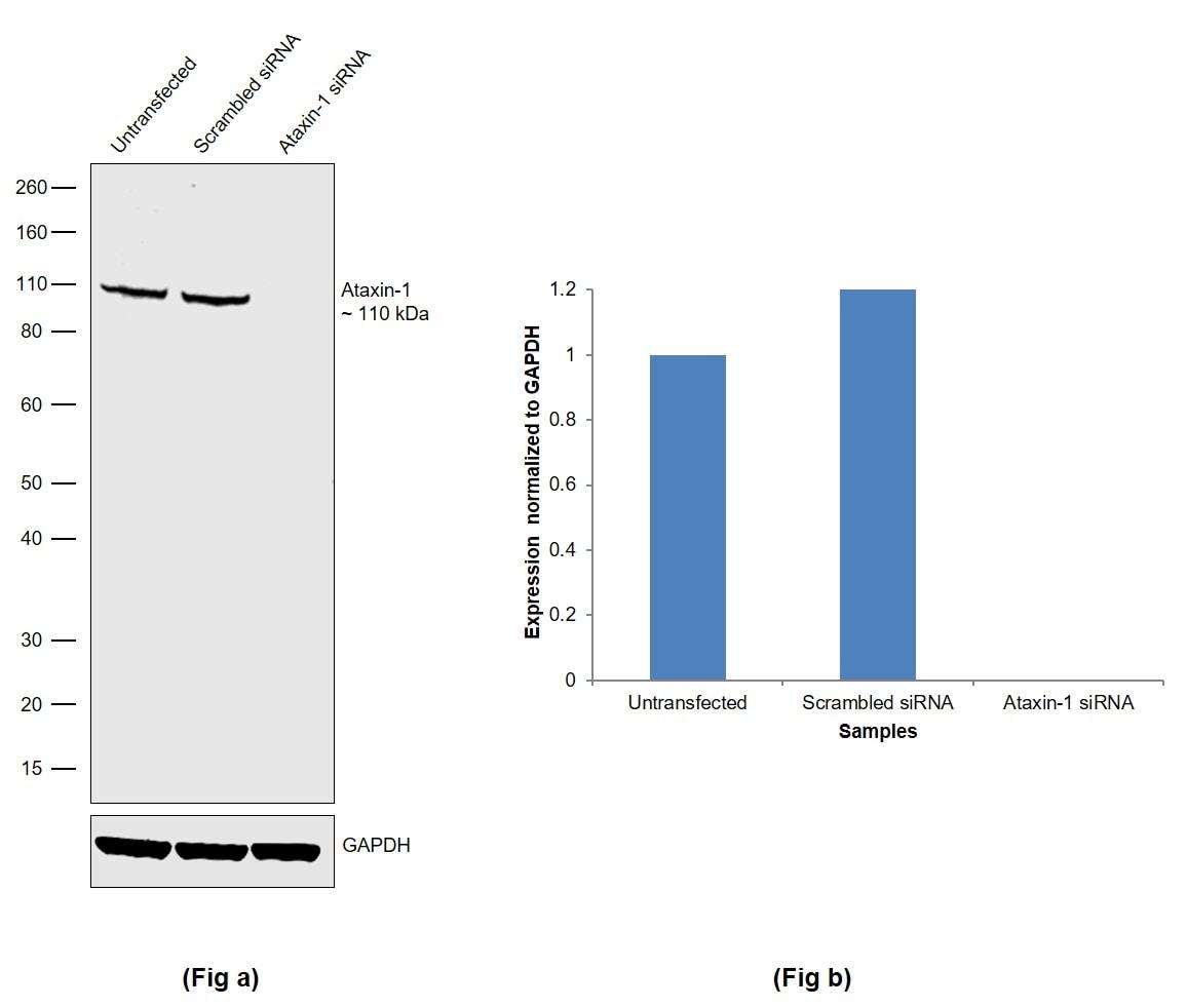 Ataxin 1 Antibody in Knockdown