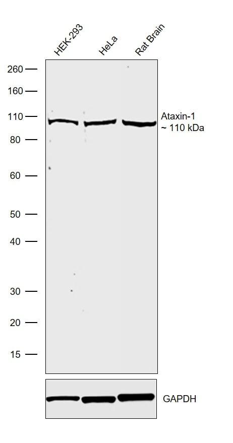 Ataxin 1 Antibody in Western Blot (WB)