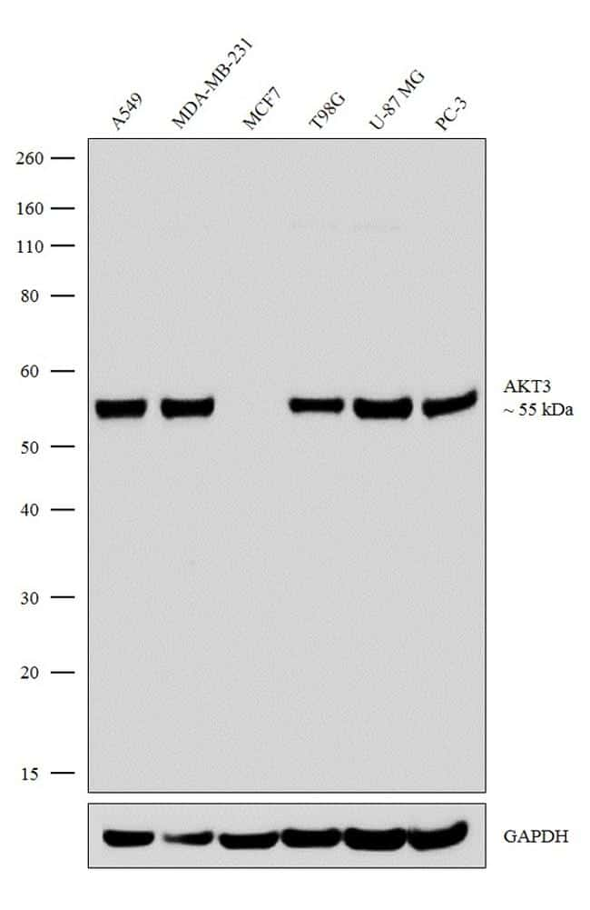 AKT3 Antibody in Relative expression