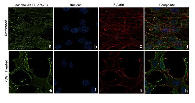 Phospho-AKT1 (Ser473) Antibody in Cell Treatment
