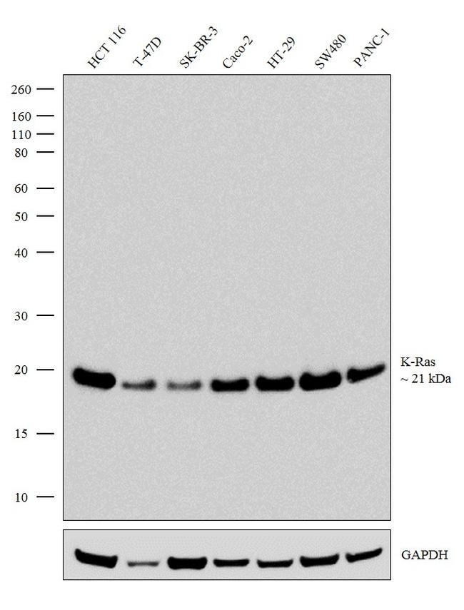K-Ras Antibody in Western Blot (WB)