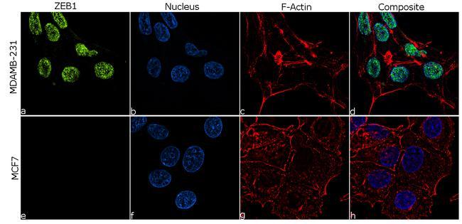 ZEB1 Antibody in Immunofluorescence (IF)
