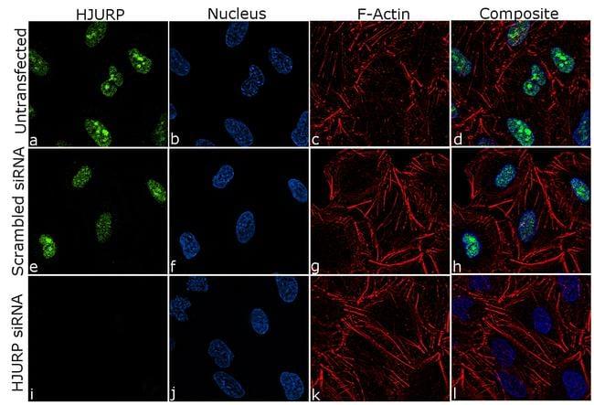 HJURP Antibody in Immunofluorescence (IF)