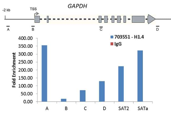 Histone H1.4 Antibody in ChIP assay (ChIP)
