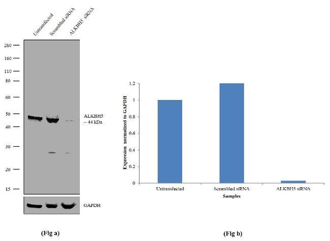 ALKBH5 Antibody in Western Blot (WB)