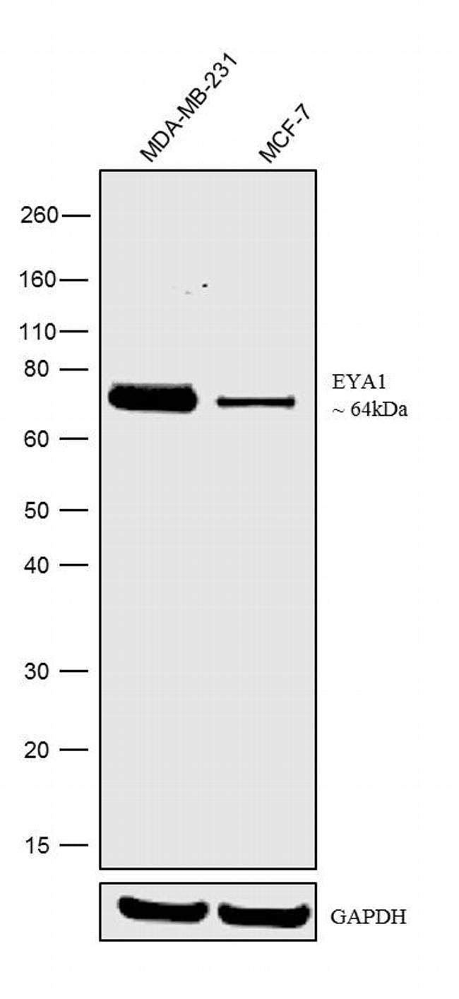 EYA1 Antibody in Relative expression