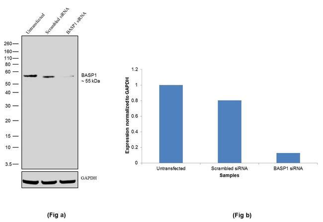 BASP1 Antibody in Western Blot (WB)