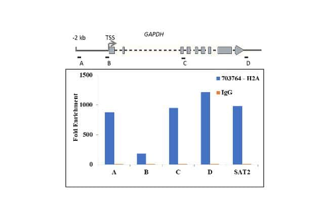 Histone H2A Antibody in ChIP assay (ChIP)