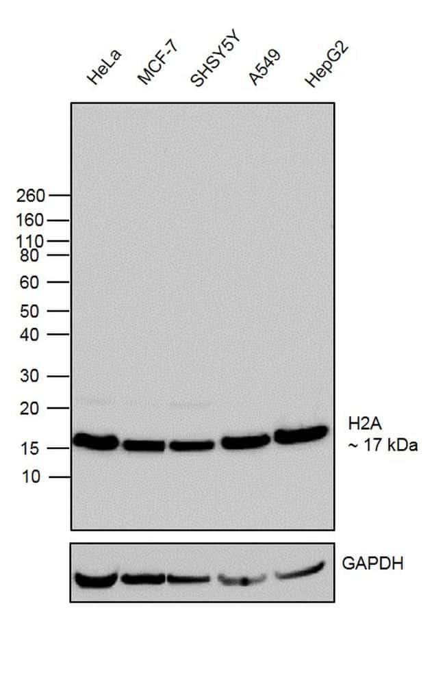 Histone H2A Antibody in Western Blot (WB)