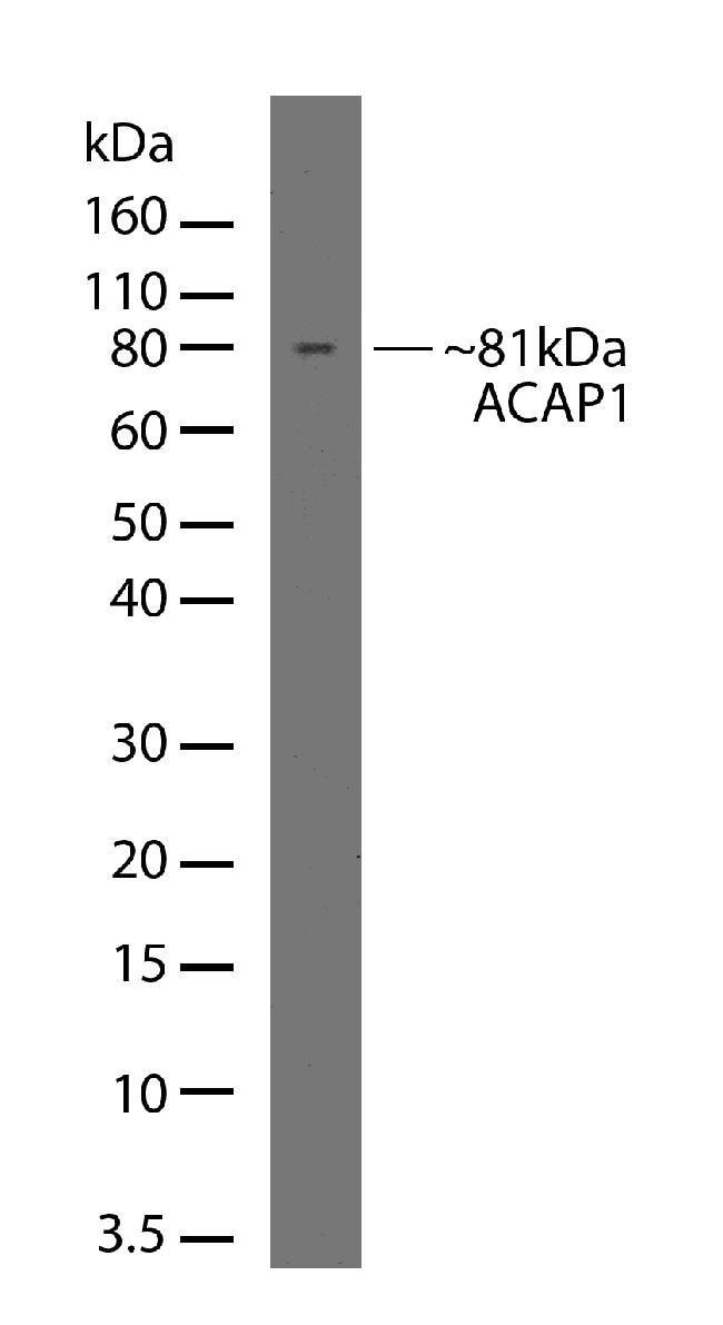CENTB1 Antibody in Western Blot (WB)