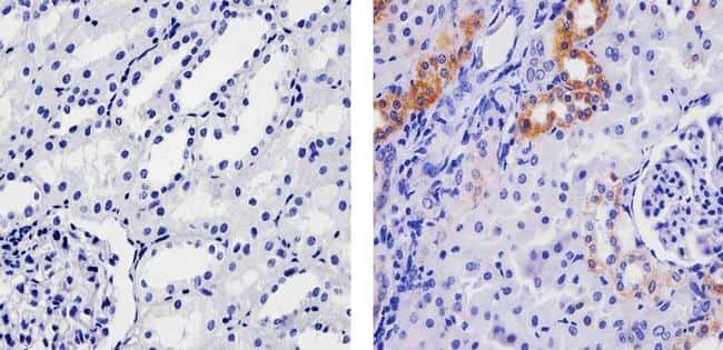 SPARC Antibody in Immunohistochemistry (Paraffin) (IHC (P))