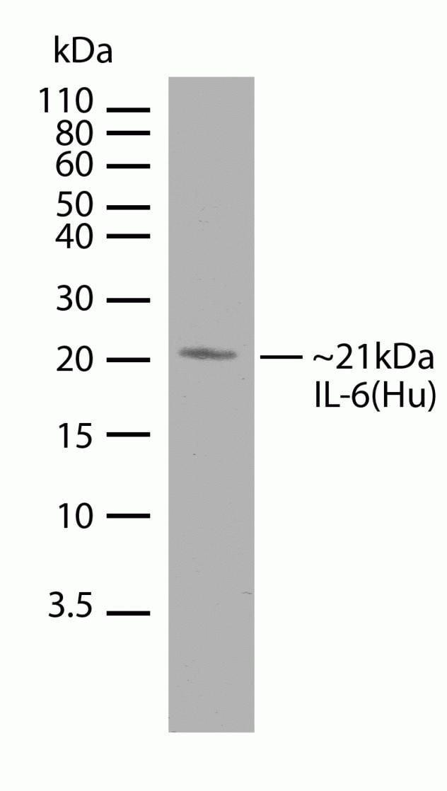 IL-6 Antibody in Western Blot (WB)