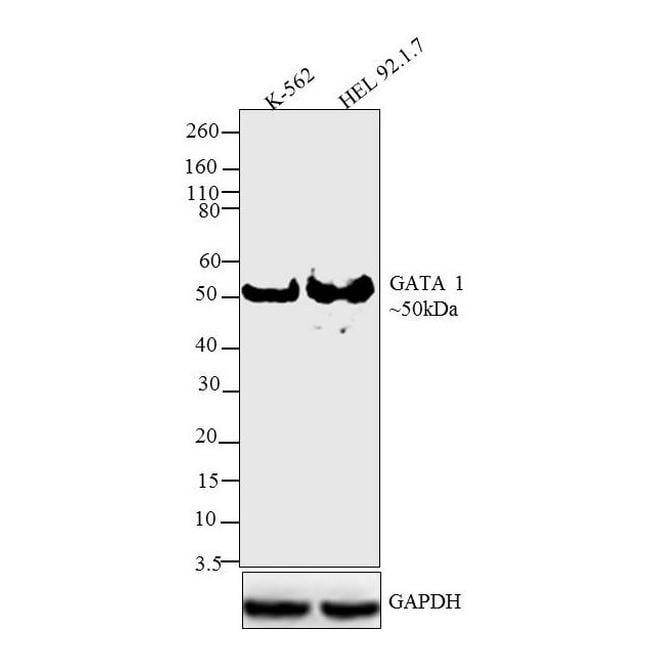 GATA1 Antibody in Western Blot (WB)