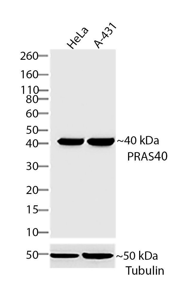 PRAS40 Antibody in Western Blot (WB)