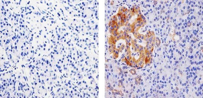 PDIA2 Antibody in Immunohistochemistry (Paraffin) (IHC (P))