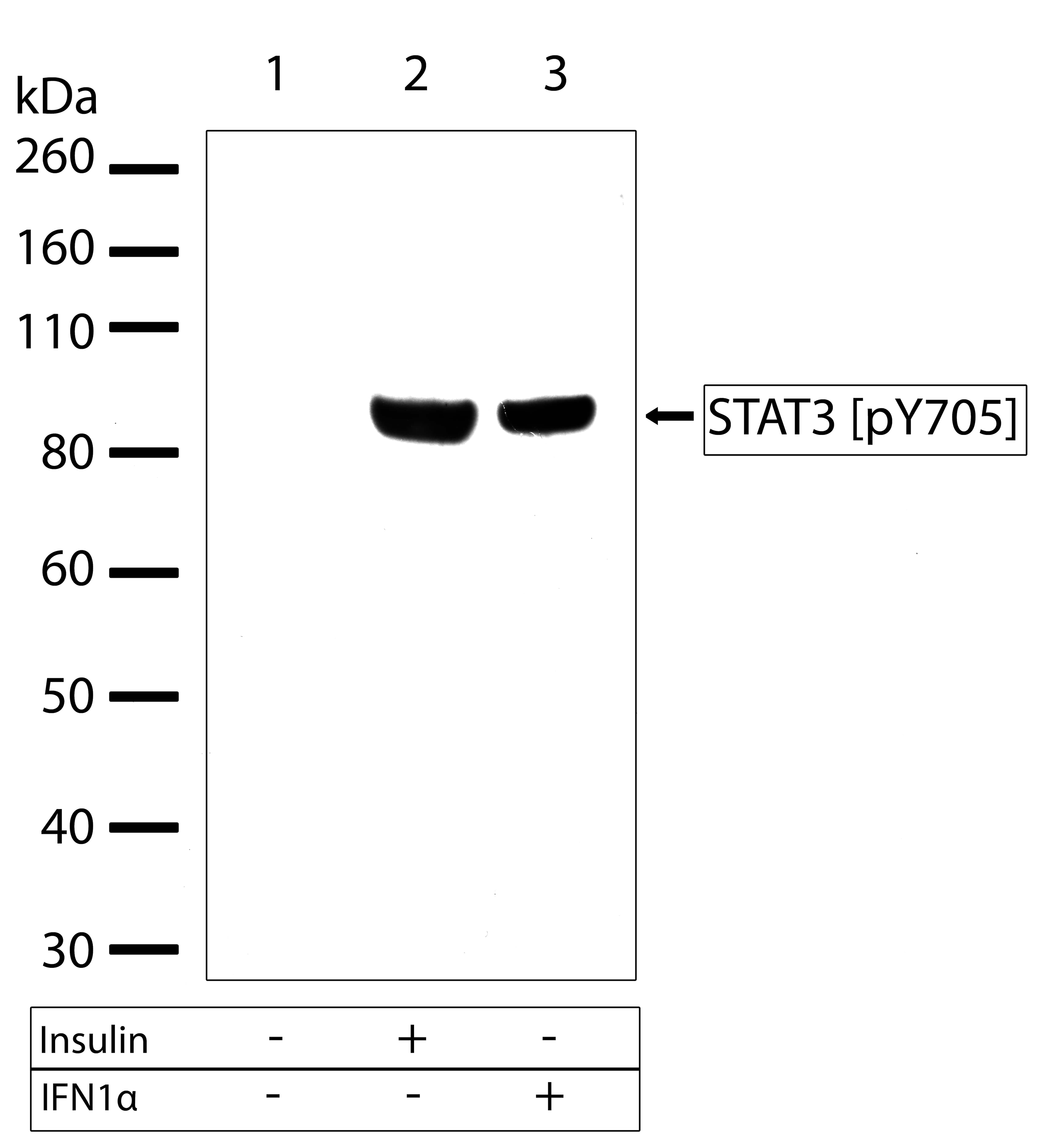 Phospho-STAT3 (Tyr705) Antibody in Cell Treatment