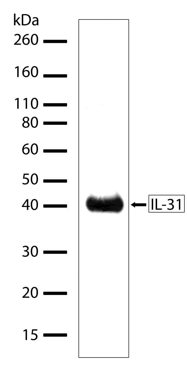 IL-31 Antibody in Western Blot (WB)
