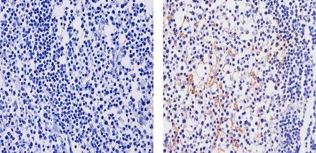CCL3 Antibody in Immunohistochemistry (Paraffin) (IHC (P))