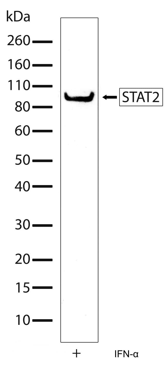 STAT2 Antibody in Western Blot (WB)