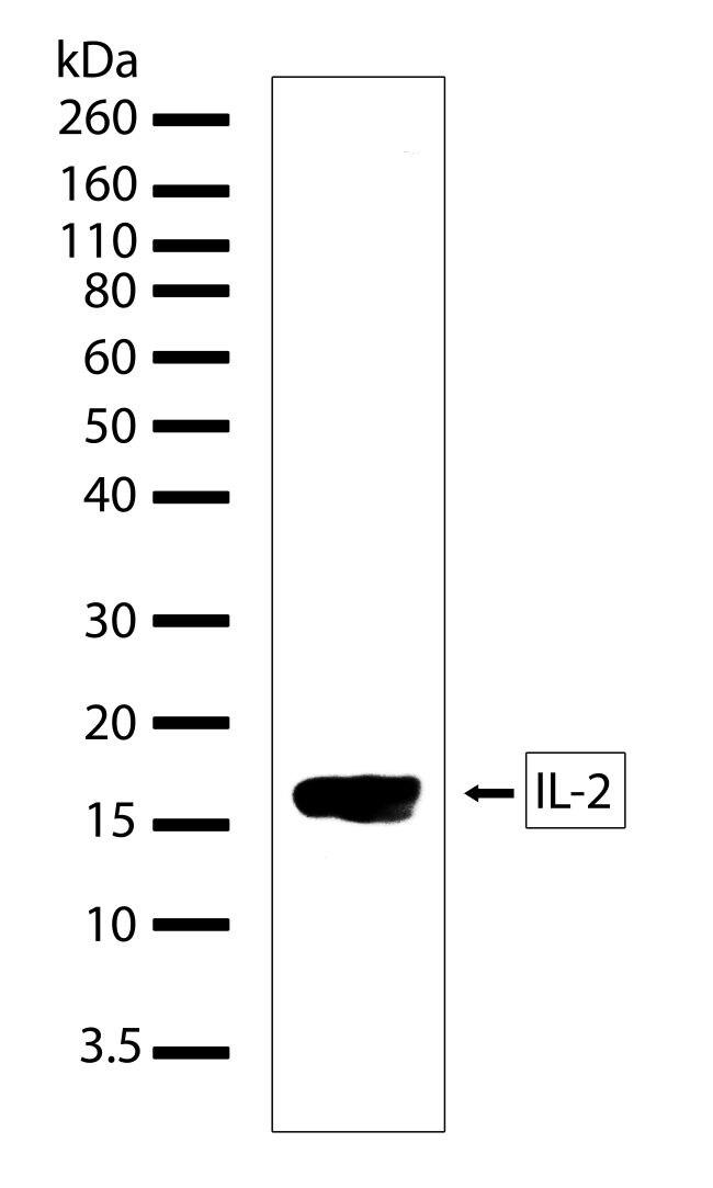 IL-2 Antibody in Western Blot (WB)