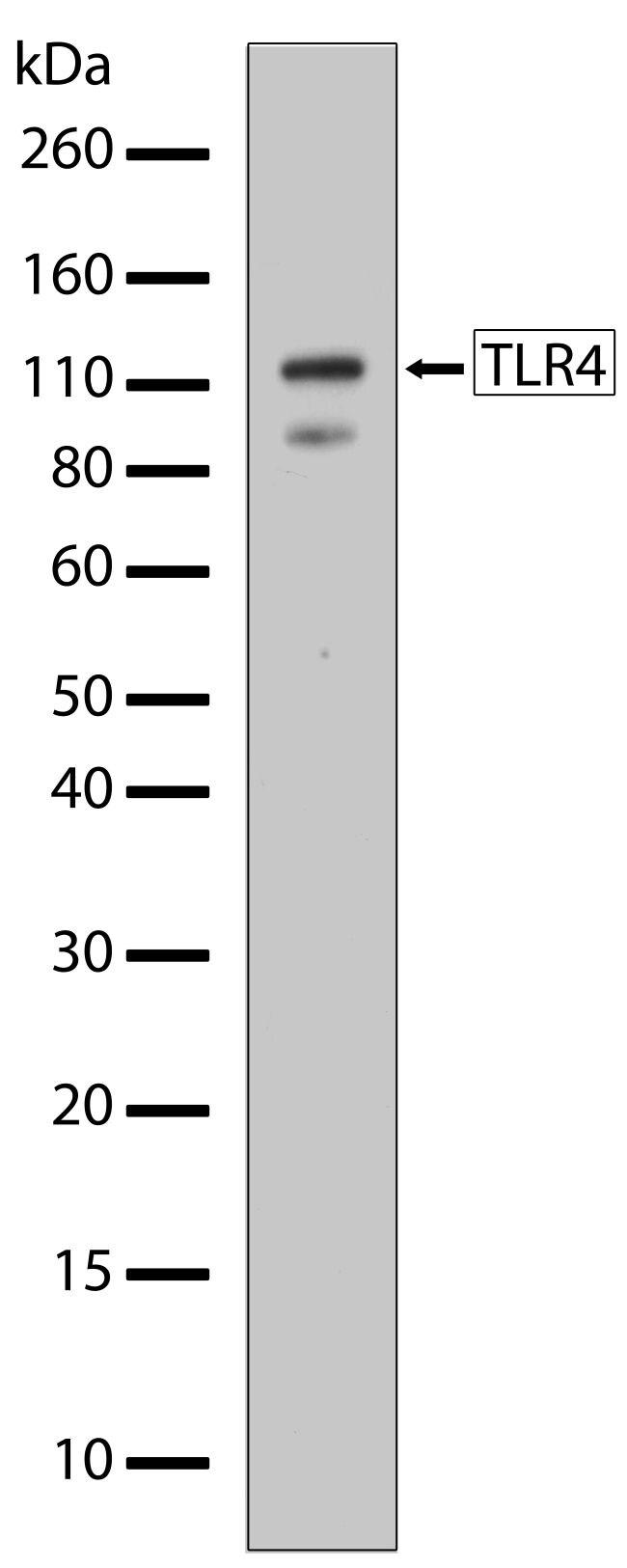TLR4 Antibody in Western Blot (WB)