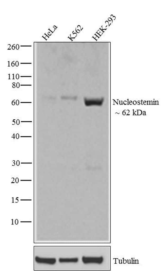 Nucleostemin Antibody in Western Blot (WB)