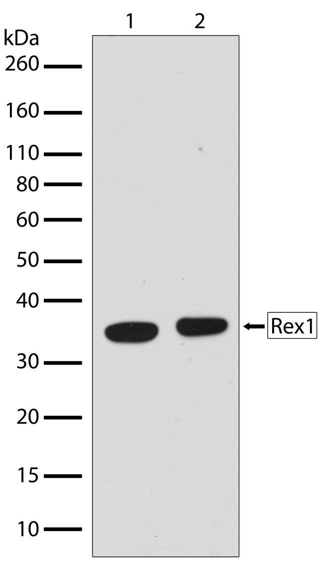 Rex1 Antibody in Western Blot (WB)