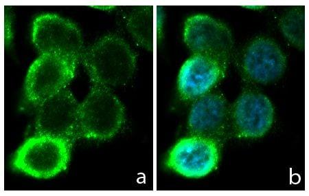Occludin Antibody in Immunofluorescence (IF)
