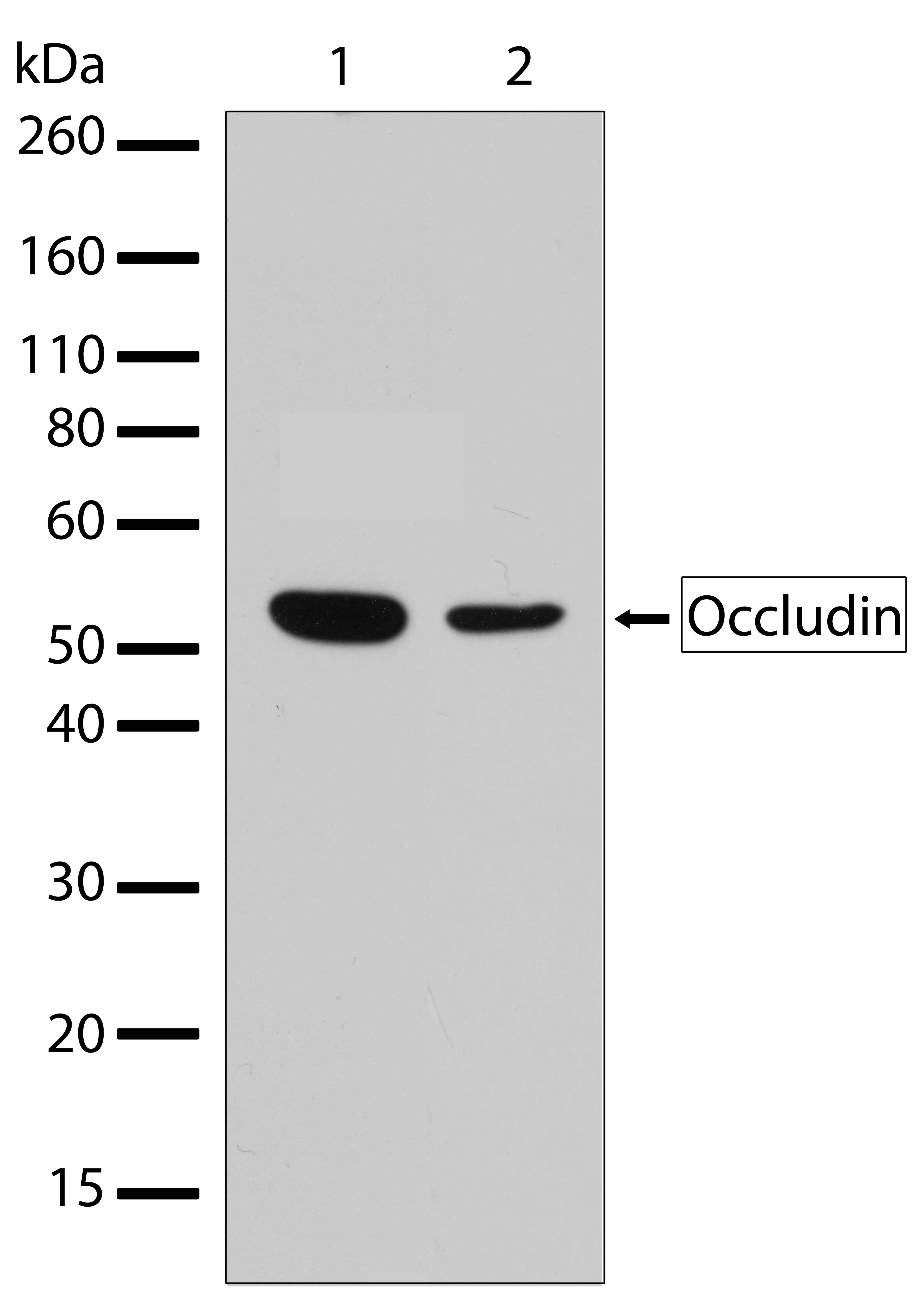 Occludin Antibody Oligoclonal 6hclc