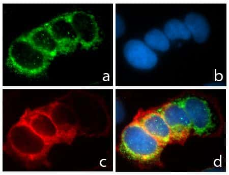 CD49f Antibody in Immunofluorescence (IF)