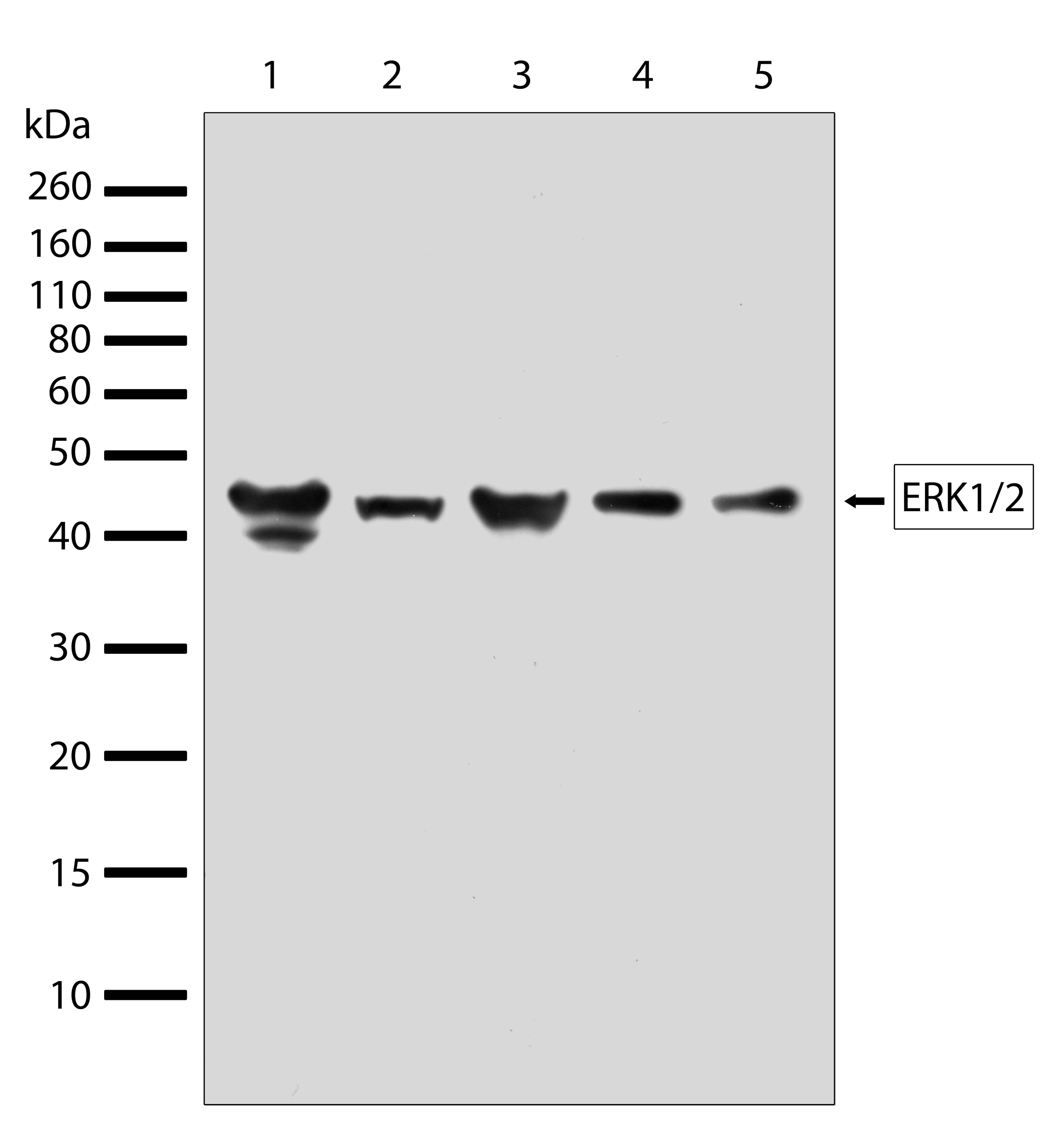 ERK1/ERK2 Antibody in Western Blot (WB)