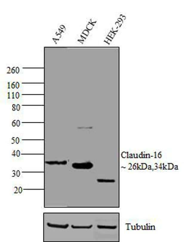 Claudin 16 Antibody in Western Blot (WB)