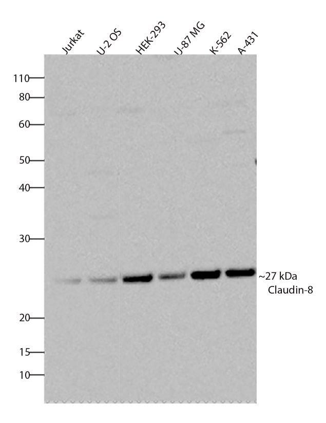 Claudin 8 Antibody in Western Blot (WB)