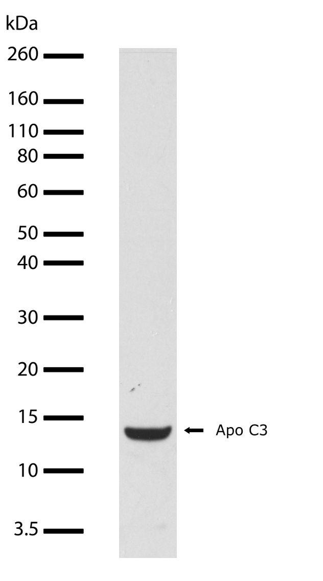 ApoC3 Antibody in Western Blot (WB)