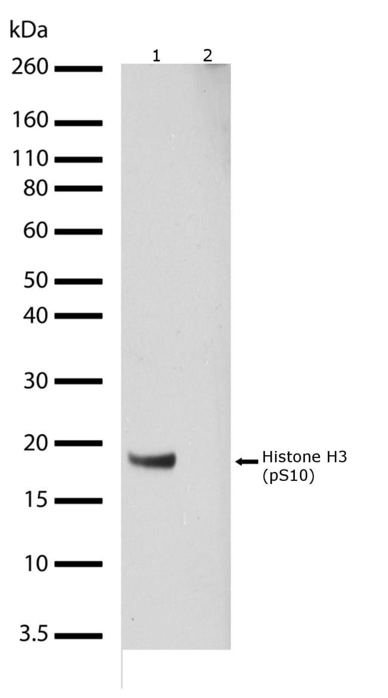 Phospho-Histone H3 (Ser10) Antibody in Western Blot (WB)