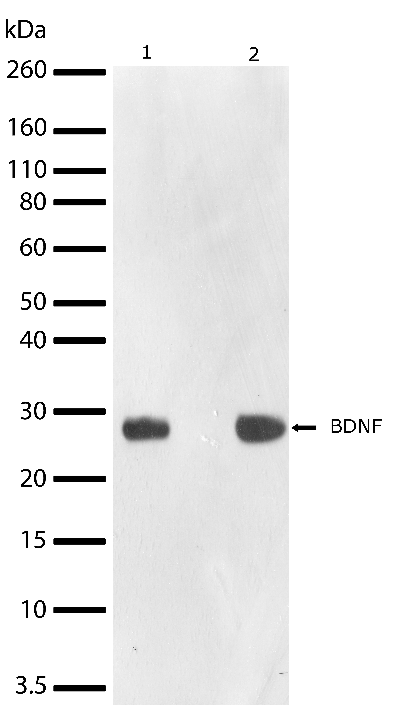 BDNF Antibody in Western Blot (WB)