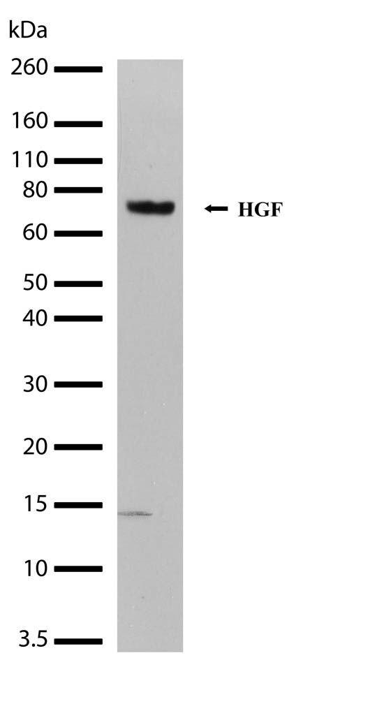 HGF Antibody in Western Blot (WB)