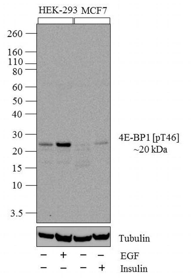 Phospho-4EBP1 (Thr46) Antibody in Cell treatment