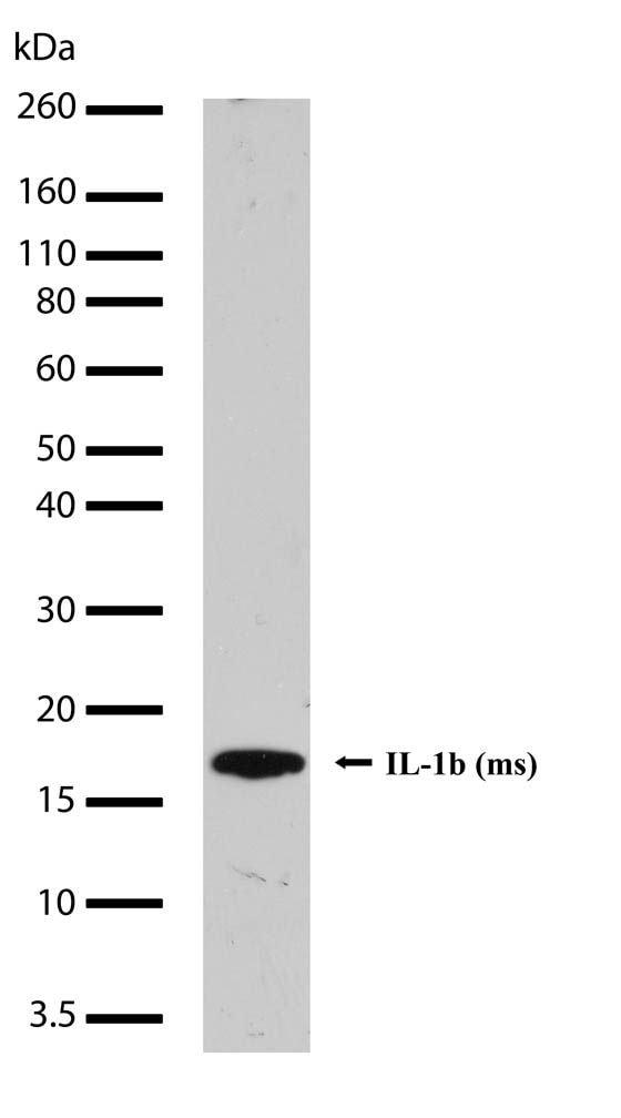IL-1 beta Antibody in Western Blot (WB)